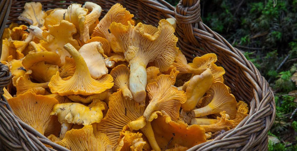 Caesium-137 in mushrooms exceeds norm by 40% in Minsk Region